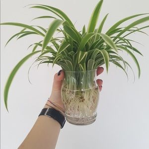 Spider plant clippings